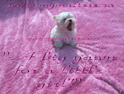 Maltese puppies for sale mymaltese.ca