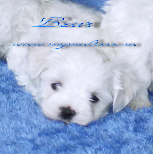 Maltese puppies for sale in Toronto Ontario Canada