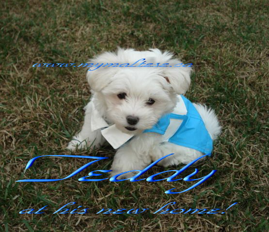 Teddy Maltese puppy in his new home