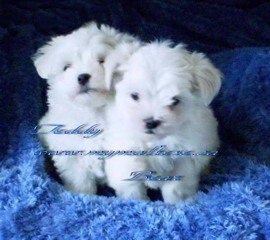Beautiful Maltese puppies for sale in Canada
